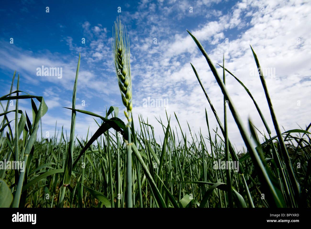 Fotografia di un campo di grano in western Negev Immagini Stock
