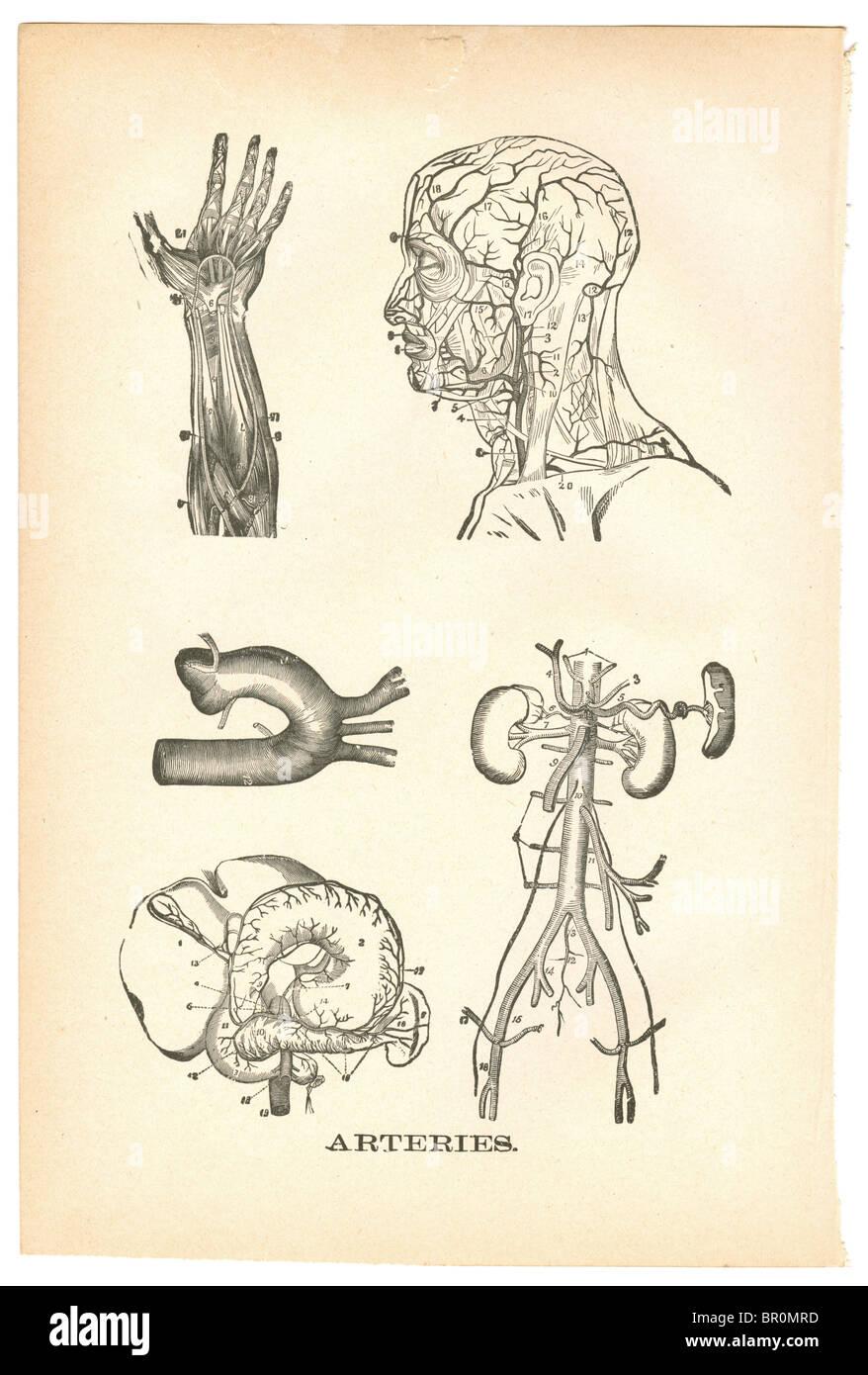 Le illustrazioni delle arterie da un'annata medical prenota Immagini Stock