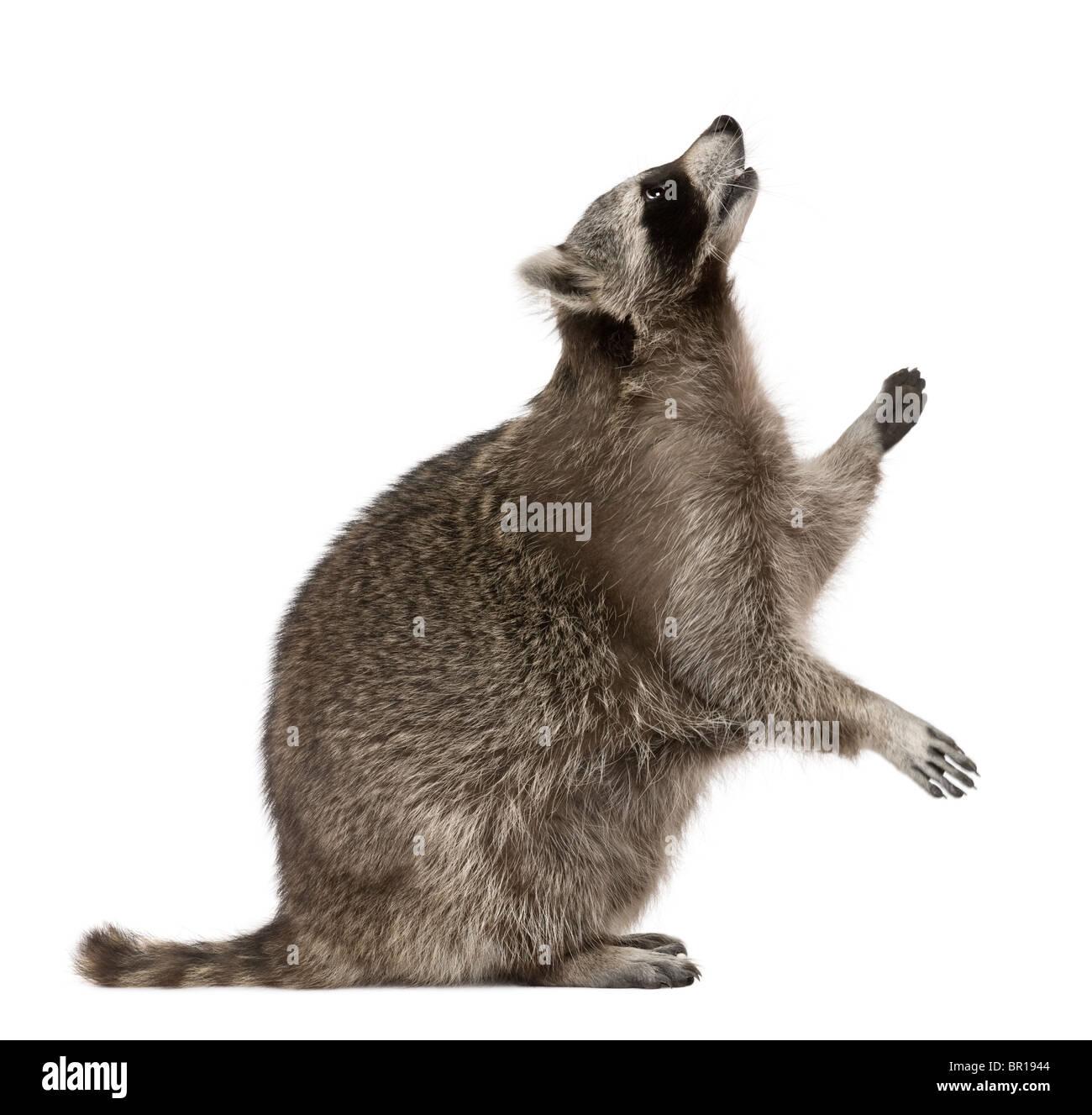 Raccoon cercando di fronte a uno sfondo bianco Immagini Stock