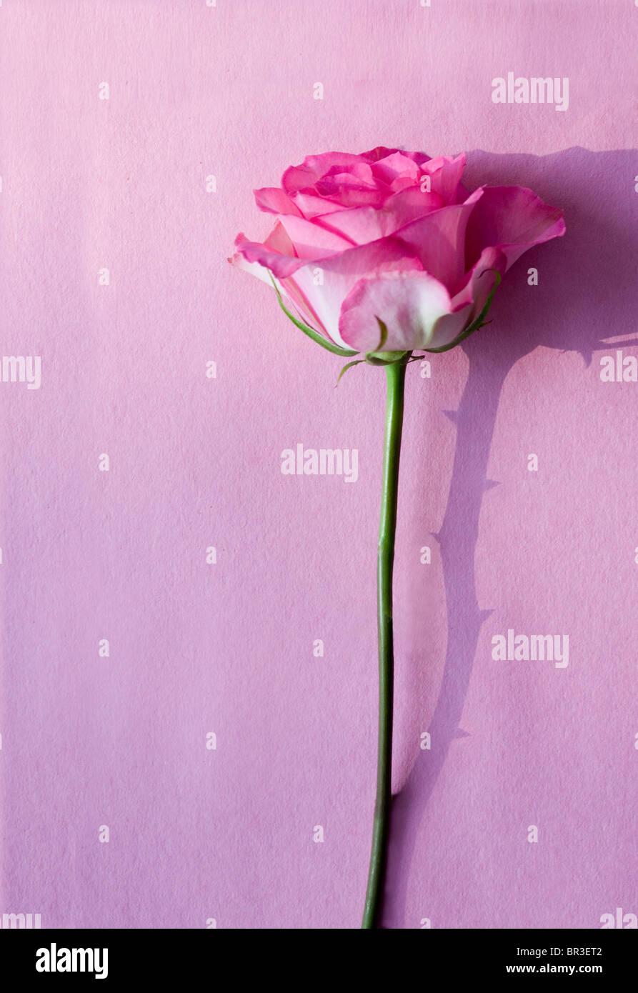 Rosa rosa su una superficie di colore rosa con un ombra di spine Immagini Stock
