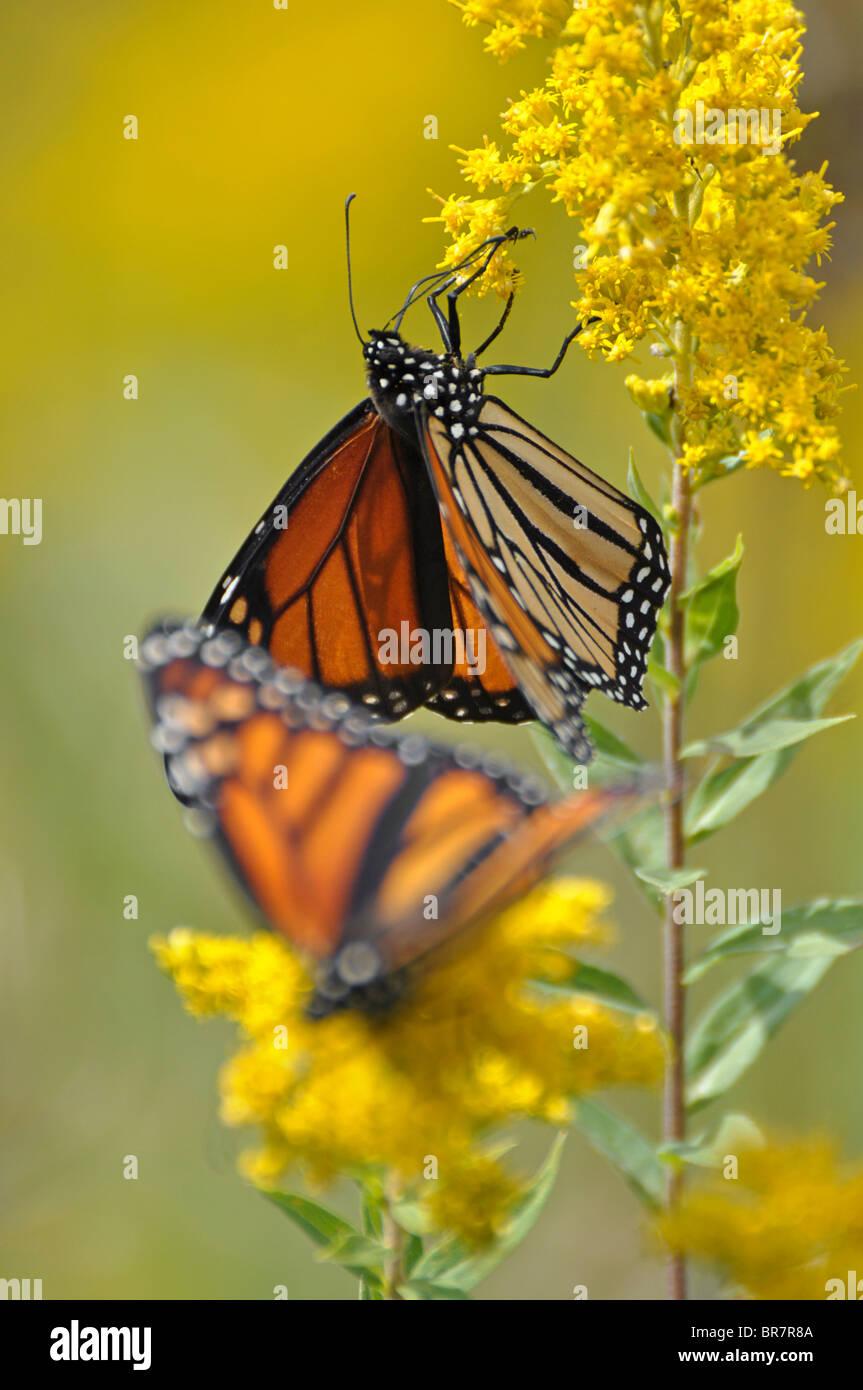 Farfalle monarca Immagini Stock