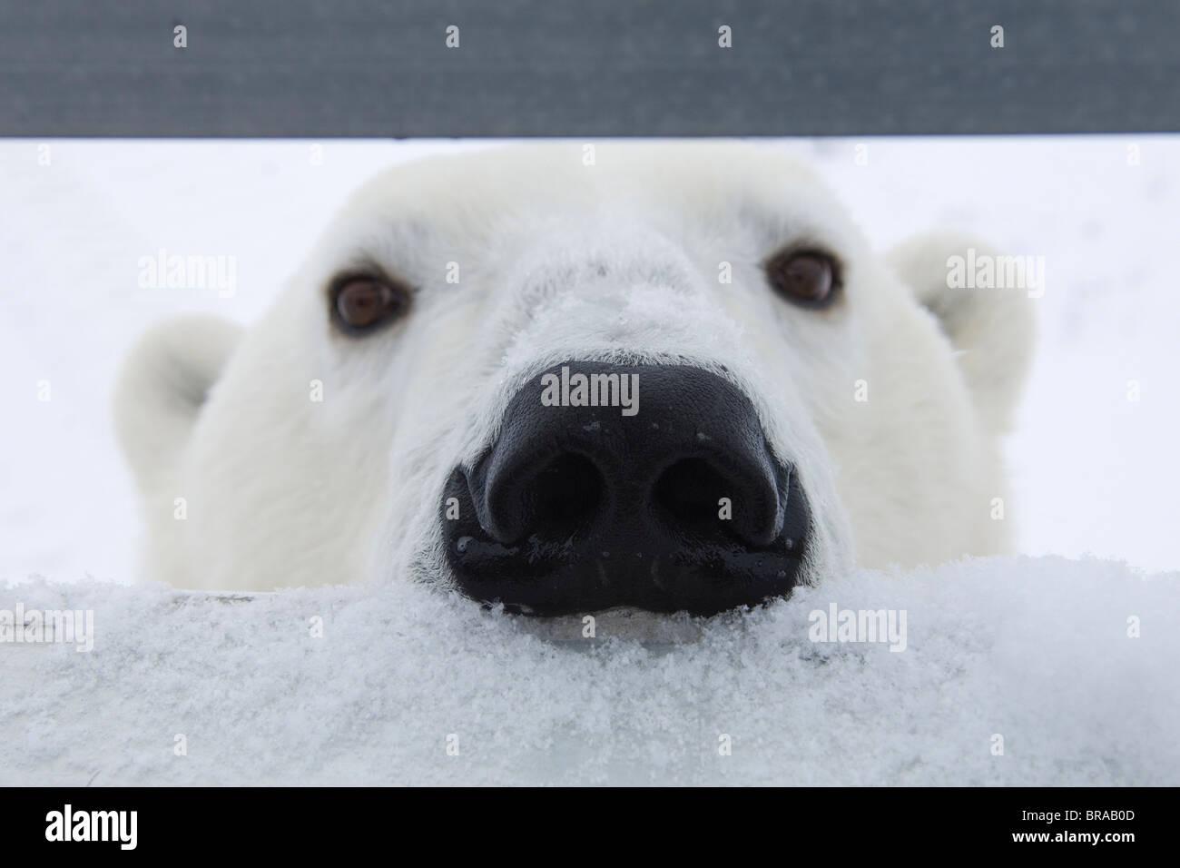 Orso polare {Ursus maritimus} sniffing presso gli occupanti del veicolo riprese, Churchill, Manitoba, Canada Immagini Stock