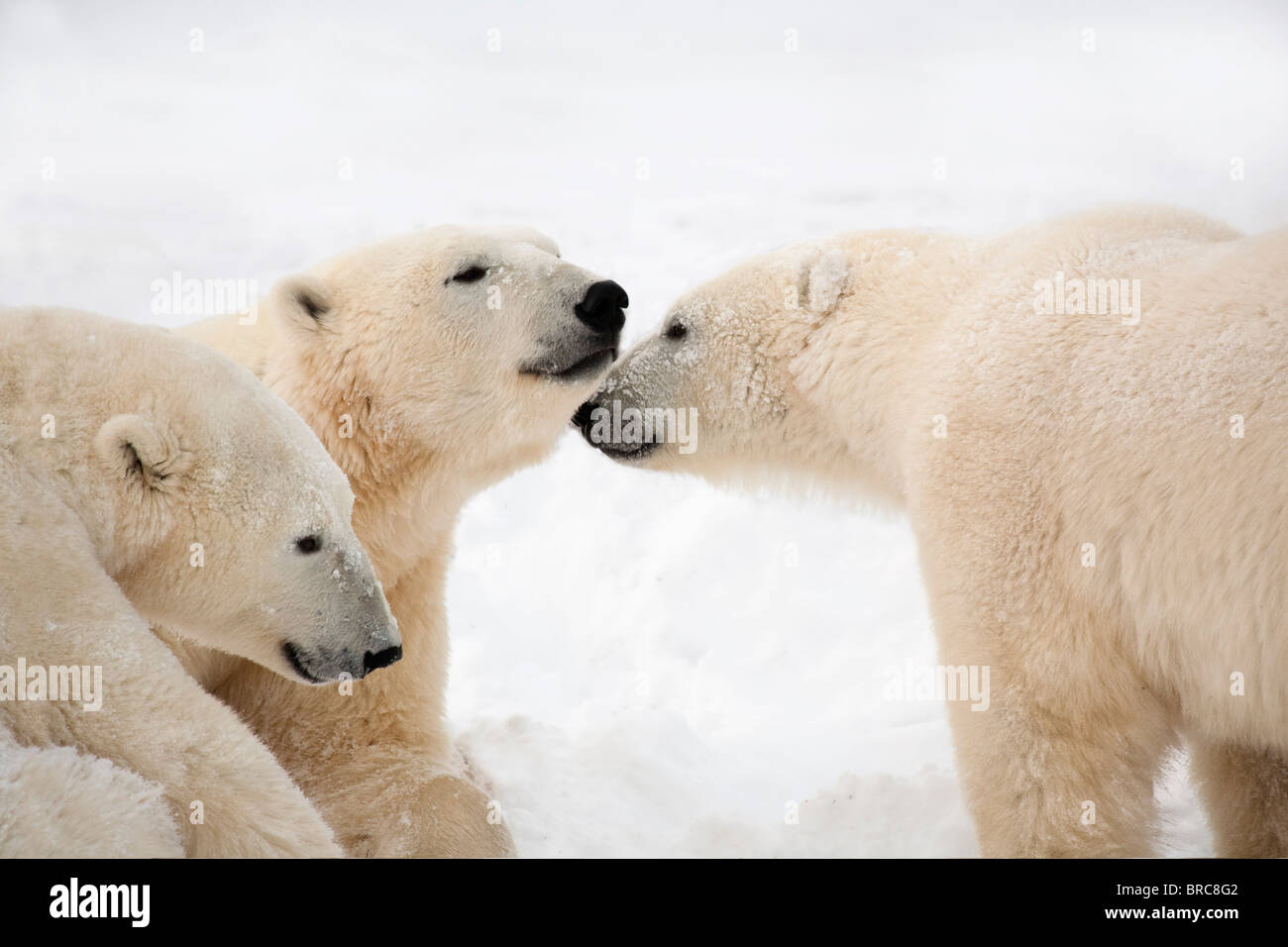 Tre Orsi Polari (Ursus maritimus) essendo affettuoso; Nunavut, Canada Immagini Stock