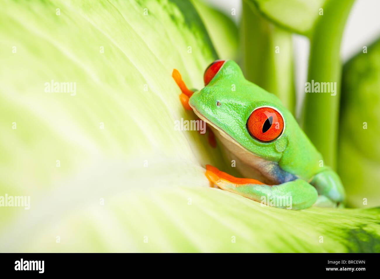 Rana in un impianto - red-eyed raganella (Agalychnis callidryas) seduto su una foglia con copyspace Immagini Stock