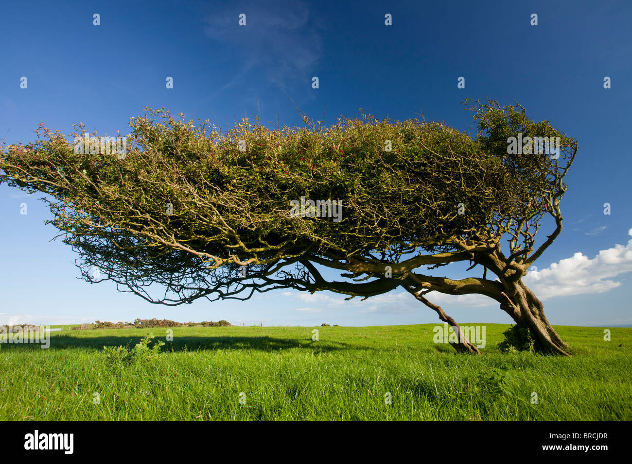 Fortemente wind-potati vecchio albero di biancospino, Crataegus monogyna, sul Purbeck Hills, Dorset. Immagini Stock