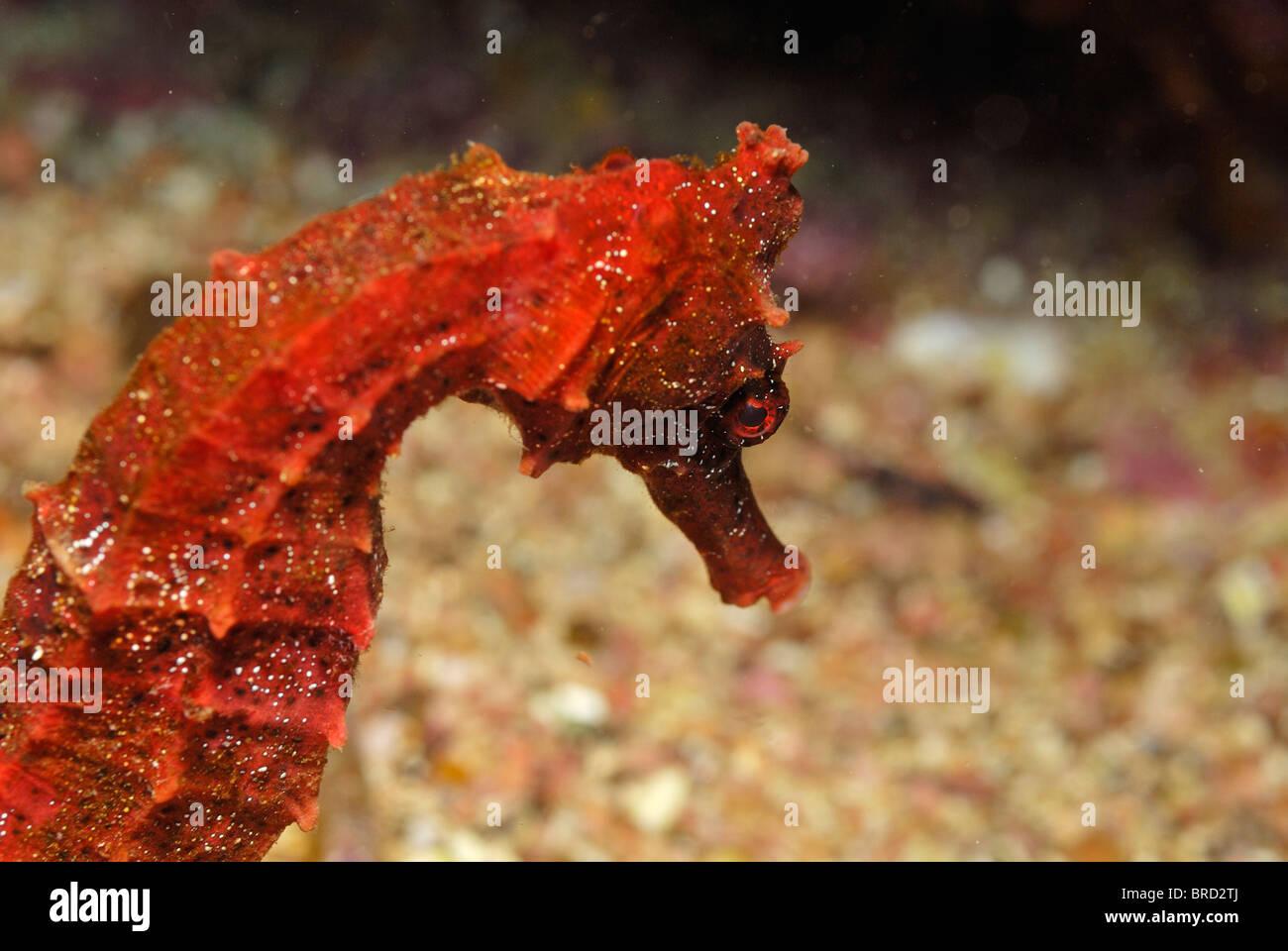 Close up rosso cavalluccio marino del Pacifico (Hippocampus ingens), vista subacquea, off le isole Galapagos arcipelago, Immagini Stock