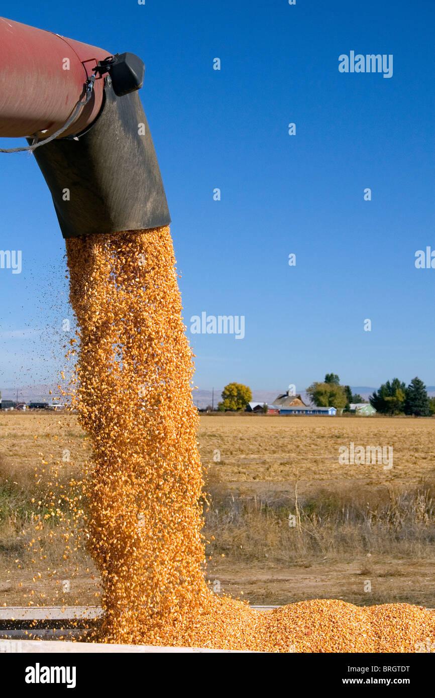 La raccolta del granoturco in Ada County, Idaho. Immagini Stock