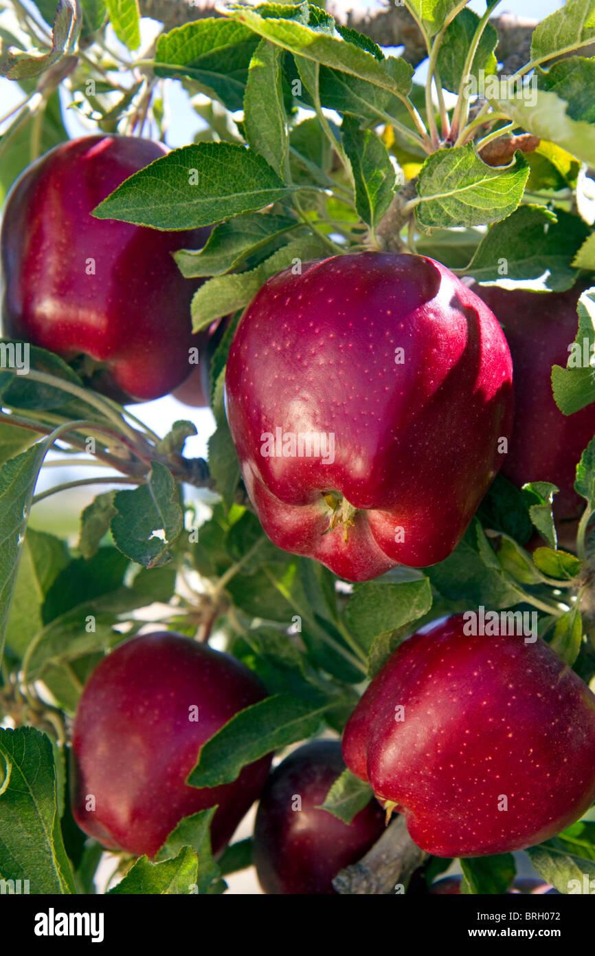 Red Delicious crescere sulla struttura ad albero in Idaho, Stati Uniti d'America. Immagini Stock