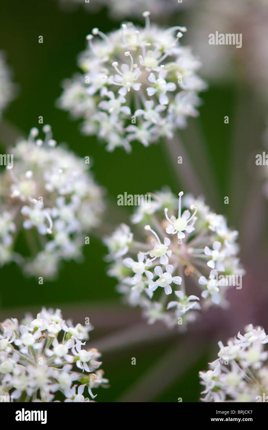 Wild Angelica; Angelica sylvestris; Immagini Stock