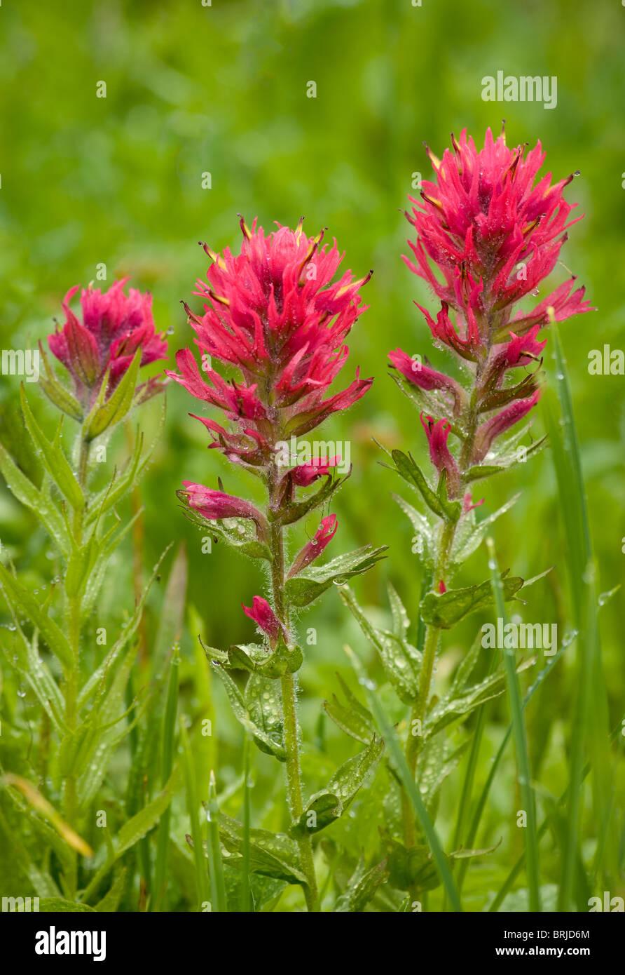 Magenta (paintbrush Castilleja parviflora); Paradiso prati, il Parco Nazionale del Monte Rainier, Washington. Immagini Stock