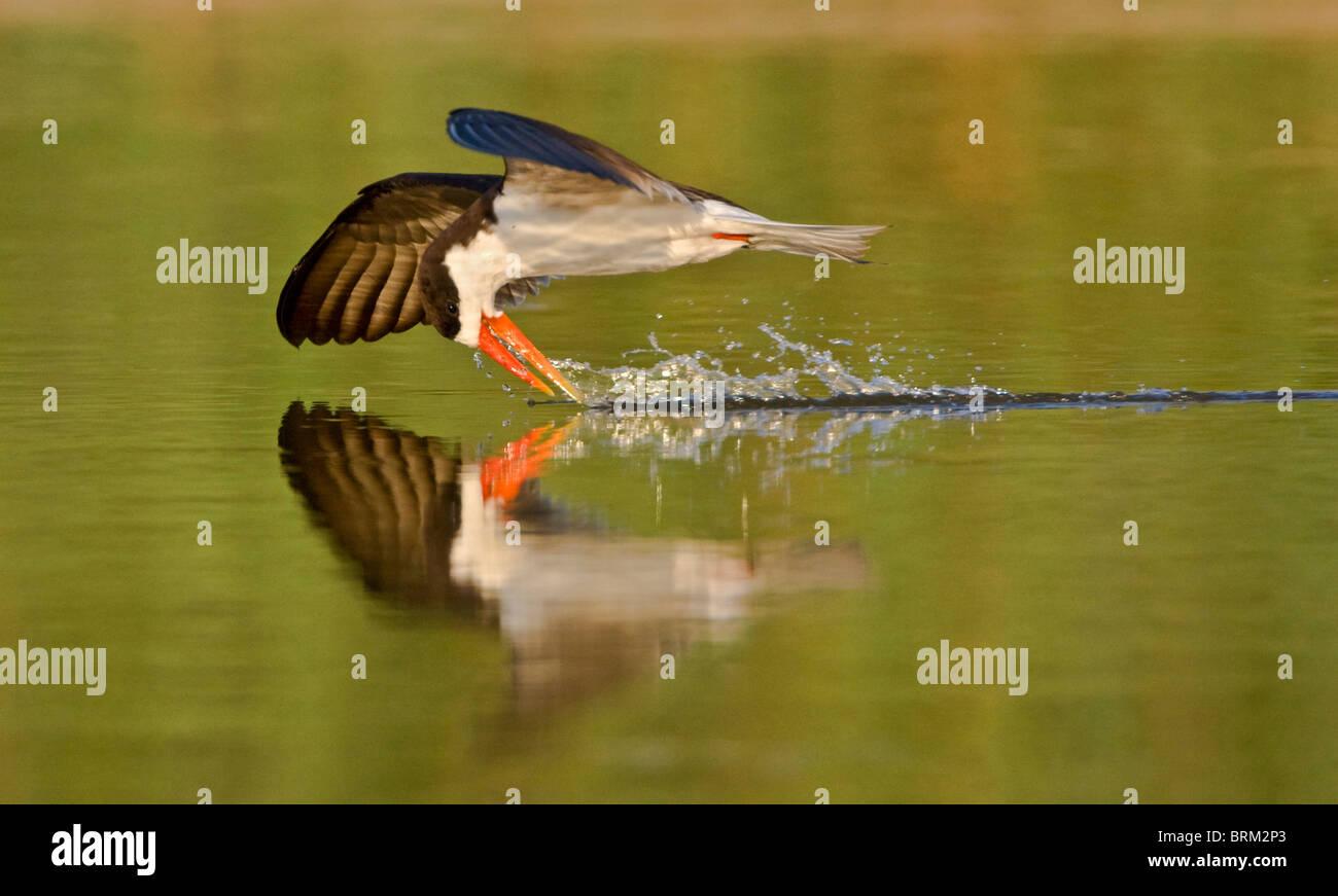 Skimmer africano skimming mentre volando a bassa quota sopra l'acqua Immagini Stock
