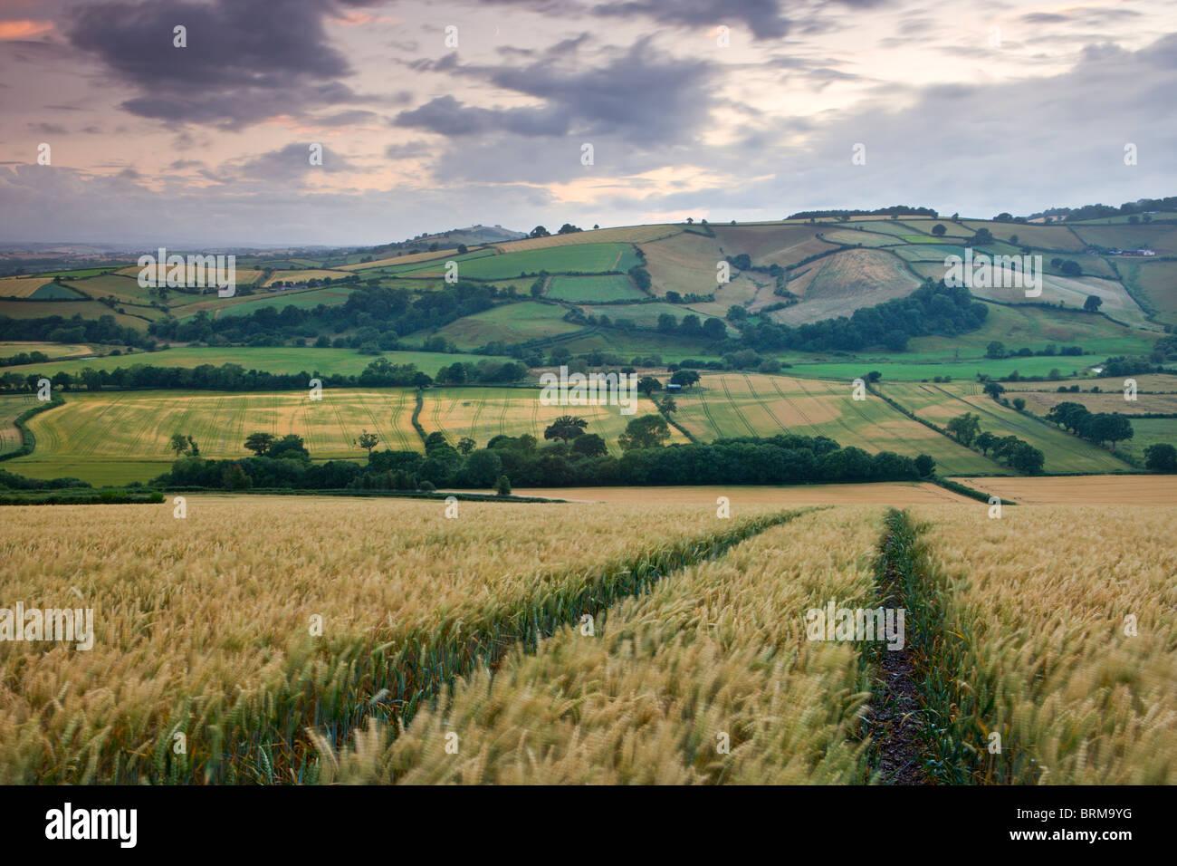 Campo di raccolto che si affaccia sul fiume Exe Valley vicino a Silverton, Devon, Inghilterra. In estate (Luglio) Immagini Stock