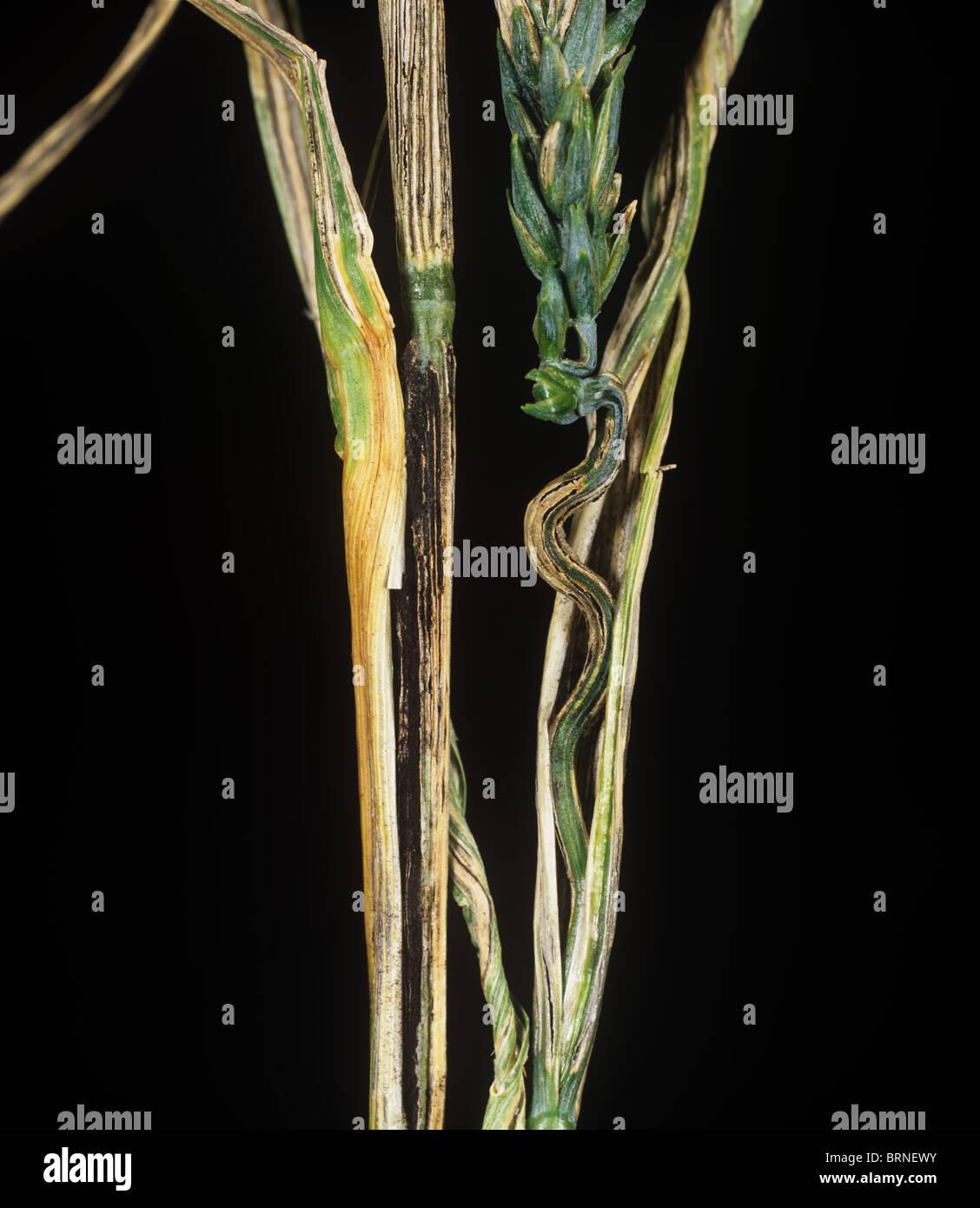 Bandiera granello di fuliggine (Urocystis agropyri) sulla coltivazione di grano bandiera foglia, STATI UNITI D'AMERICA Immagini Stock