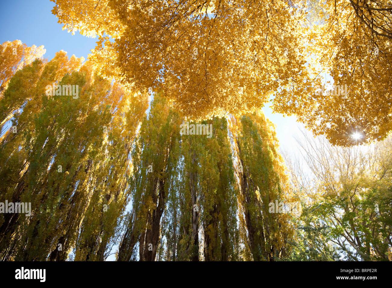 Stagionalmente giallo alberi colorati Immagini Stock