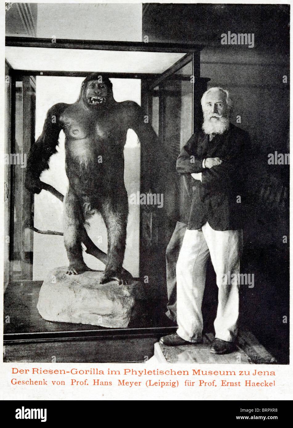 Ernst Heinrich Philipp August Haeckel (1834 - 1919), evolutiva teorico illustrato con un gorilla. Immagini Stock