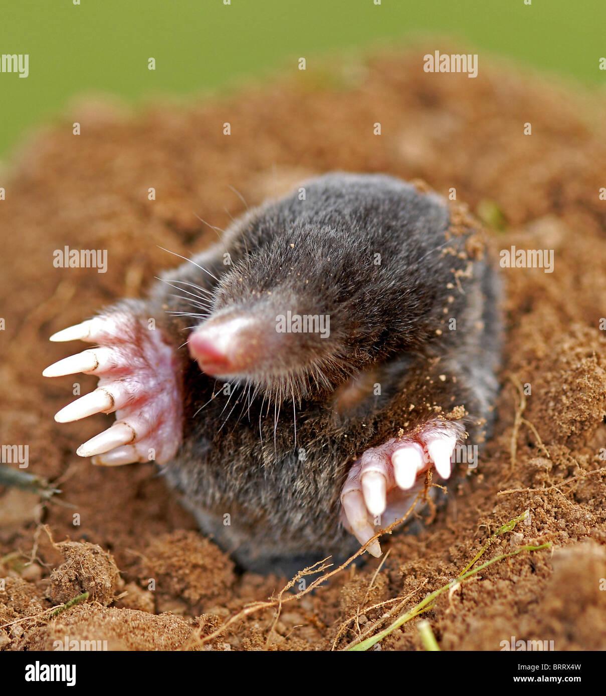 La mole (talpa europaea) considerata come una peste in giardino Immagini Stock