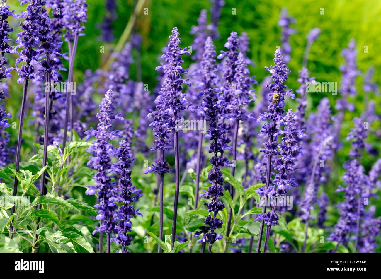 Pianta Fiori Viola.Salvia Farinacea Victoria Erbacee Perenni Piante Fiori Viola Bloom