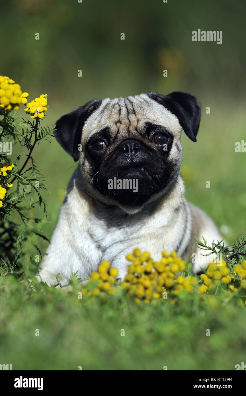 Pug (Canis lupus familiaris). Giovane cane seduto tra la fioritura Tansy. Immagini Stock