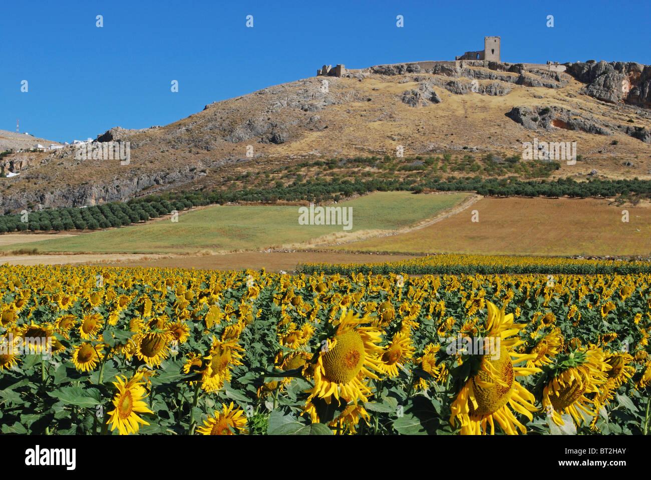 Campo di girasoli con il castello al posteriore, Teba, provincia di Malaga, Andalusia, Spagna, Europa occidentale. Immagini Stock