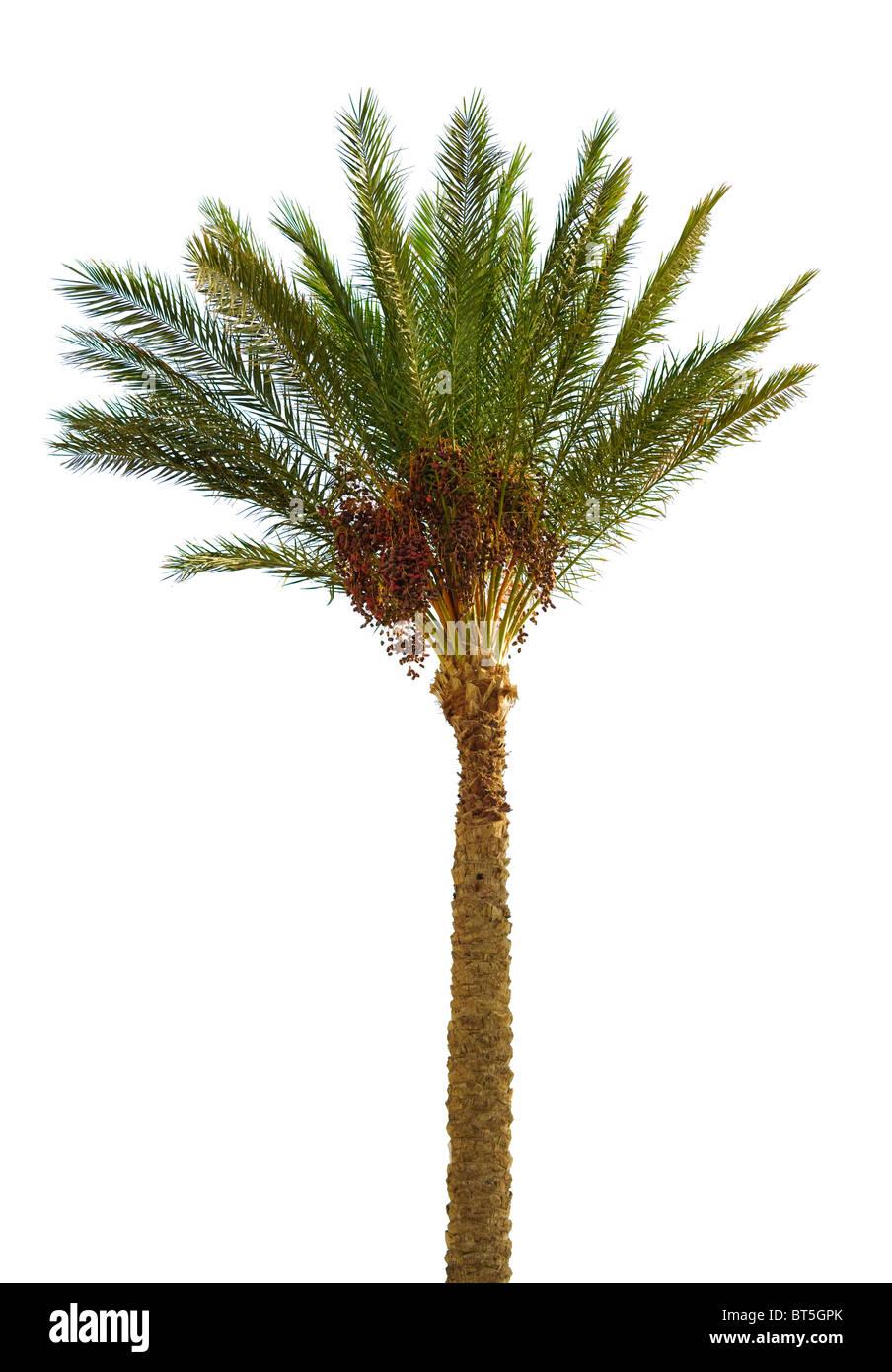 Data palm isolato su bianco Immagini Stock