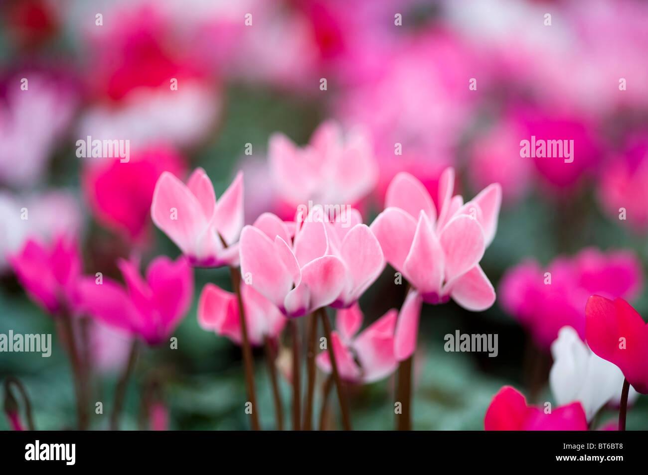 Ciclamino fiori in autunno Immagini Stock