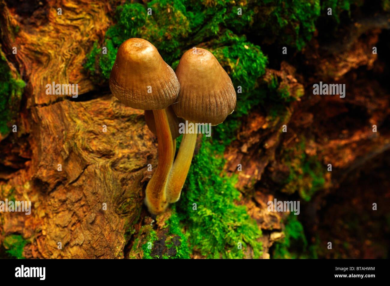 I funghi che crescono su di un registro in legno Bramingham, Luton, Bedfordshire Foto Stock