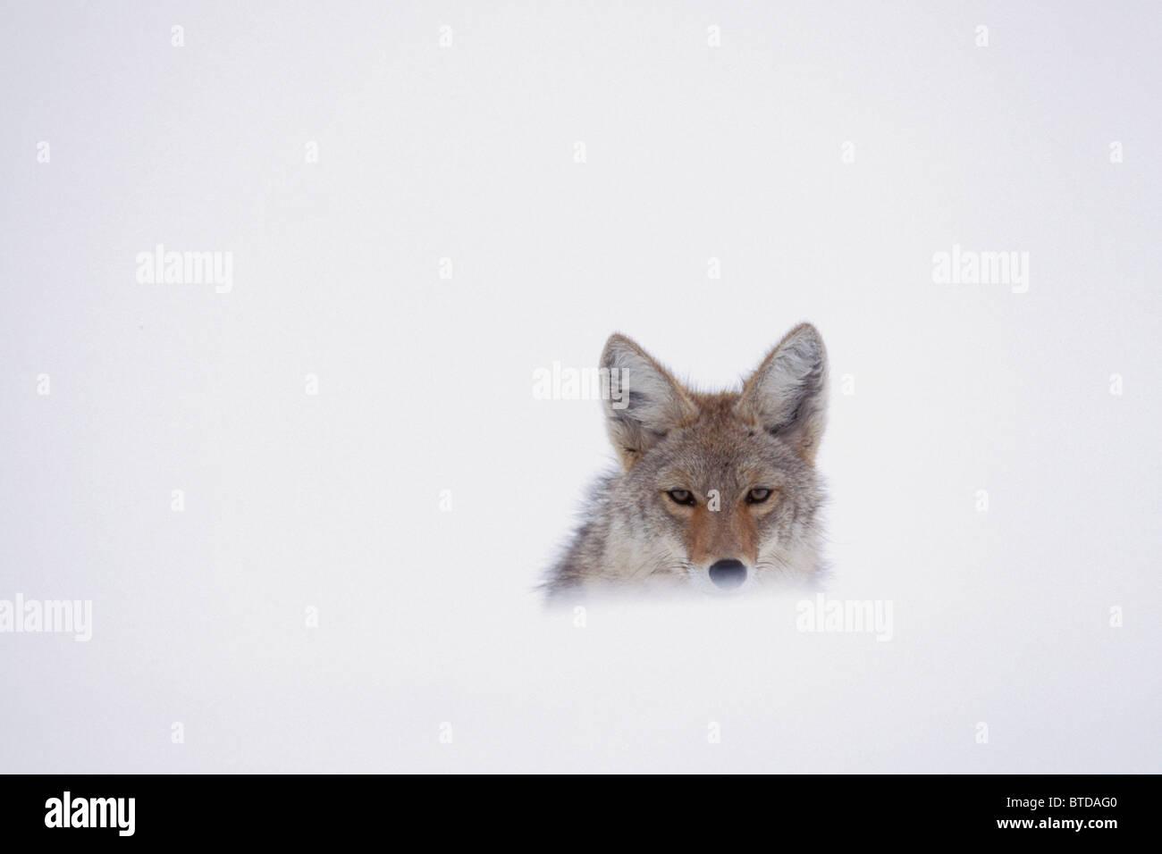 Coyote di sbirciare da dietro un Snow Drift, il Parco Nazionale di Yellowstone, STATI UNITI D'AMERICA, inverno Immagini Stock