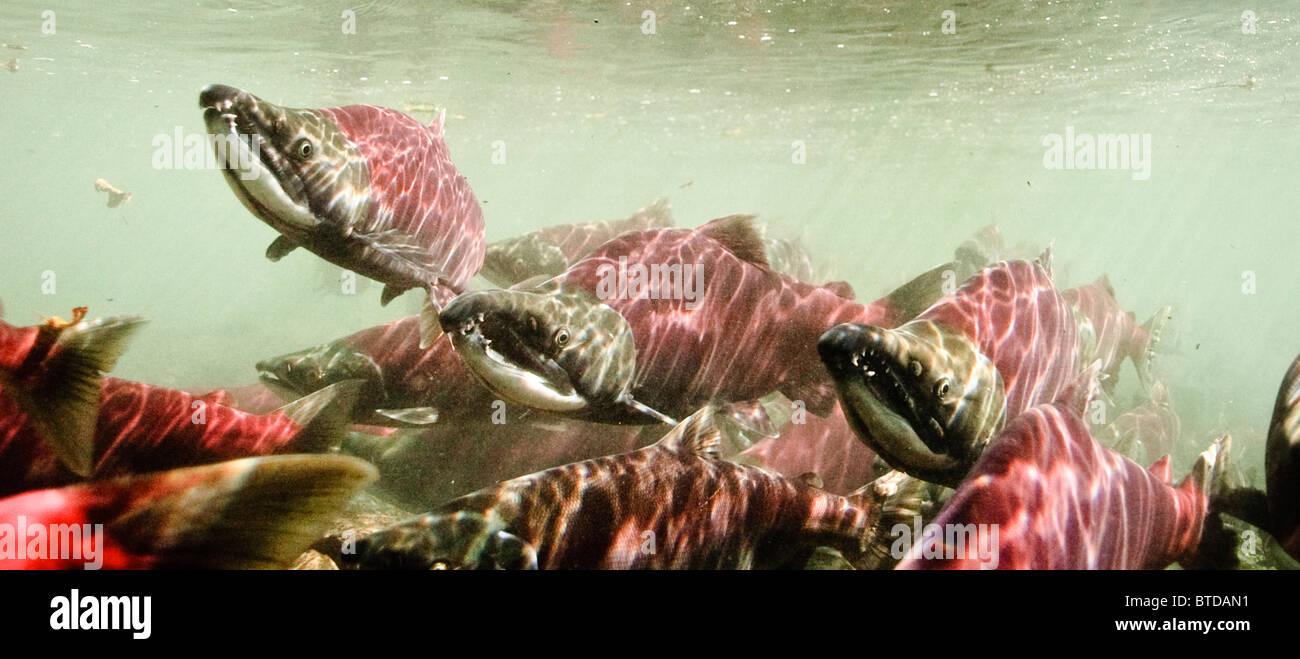 Salmone rosso in arrivo su zone di riproduzione nel potere Creek, rame River Delta, Prince William Sound, Alaska Immagini Stock