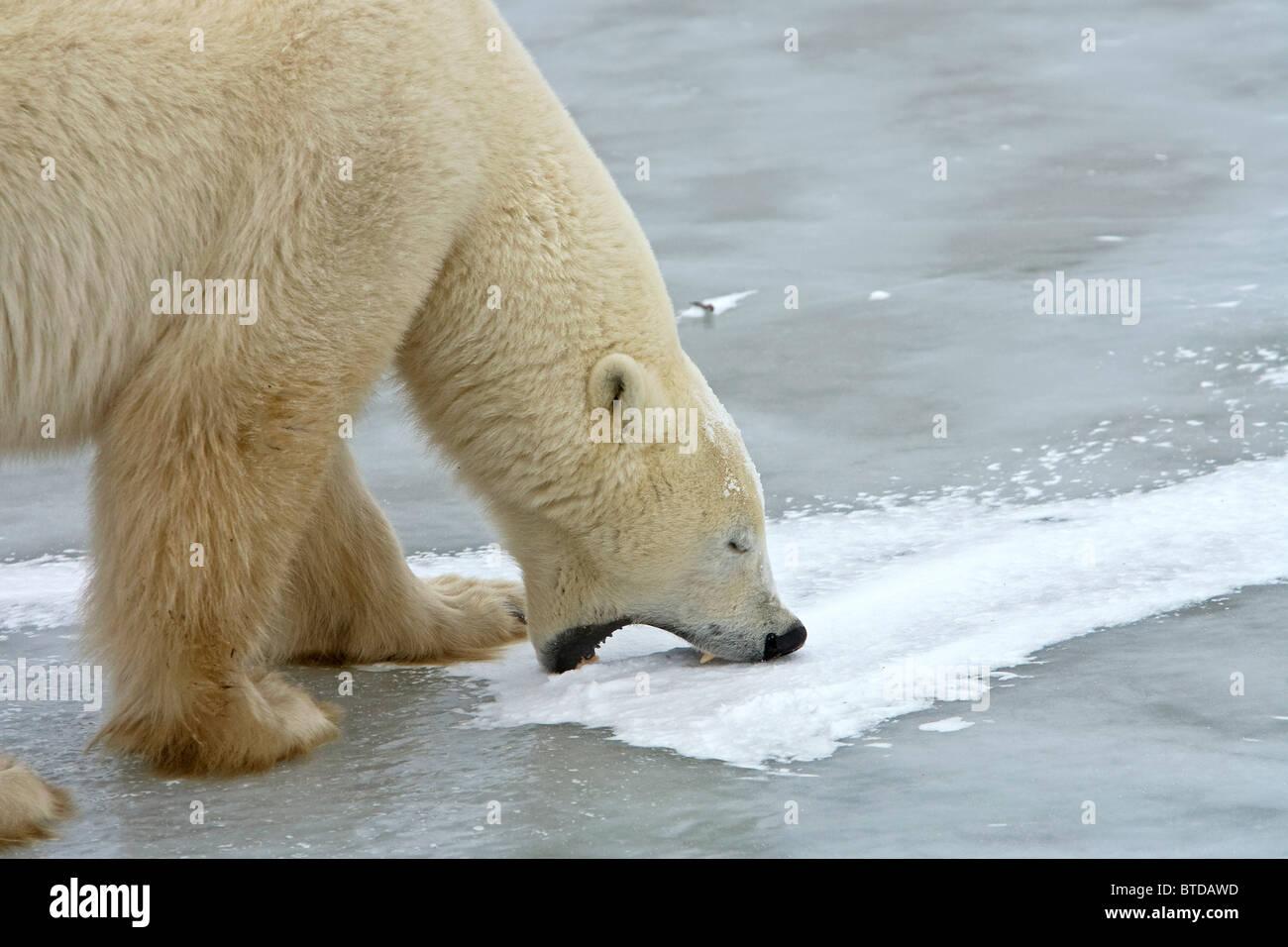 Un maschio di orso polare prende un morso di ghiaccio mentre in piedi su un lago ghiacciato in Churchill, Manitoba, Immagini Stock