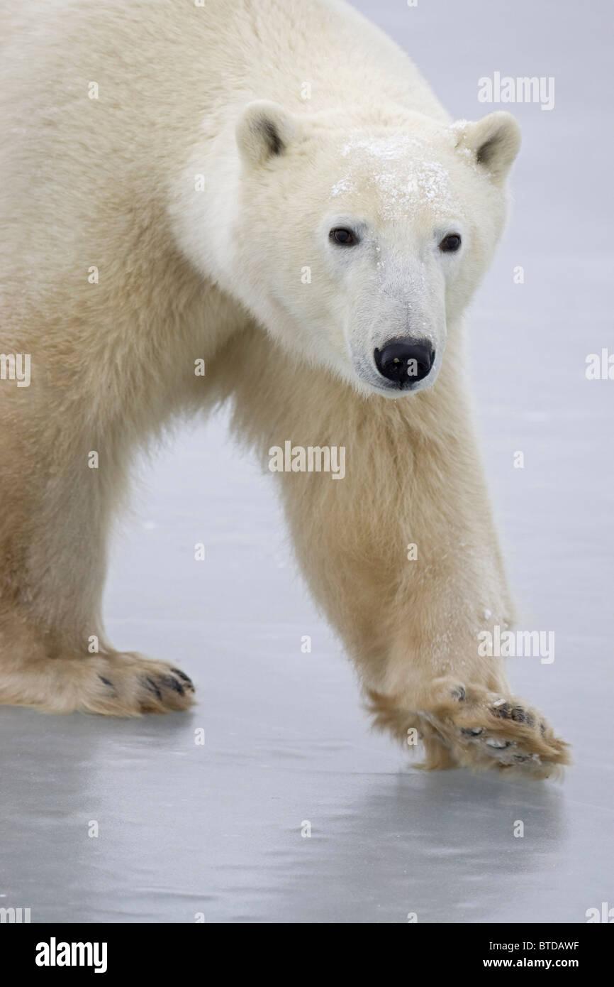 Ritratto di un adulto di Orso Polare (Ursus maritimus) attraversando a piedi il lago di ghiaccio di Churchill, Manitoba, Immagini Stock