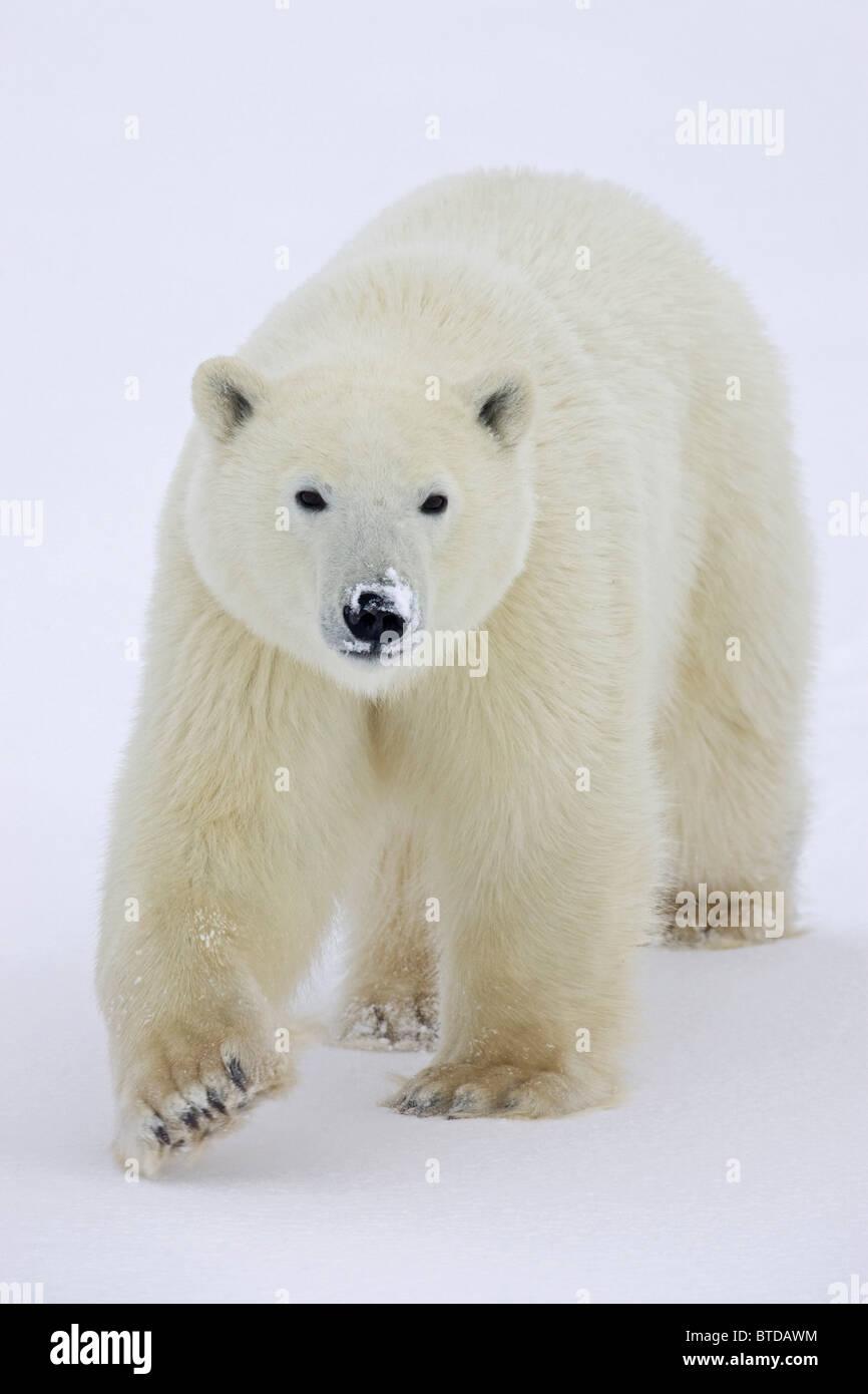 Ritratto di un orso polare (Ursus maritimus) con neve fresca che coprono il suo muso in Churchill, Manitoba, Canada, Immagini Stock