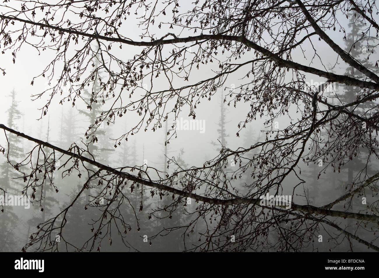 Coni di ontano gocciolamento con umidità appendere fuori rami in una nebbiosa mattina in Tongass National Forest, Immagini Stock