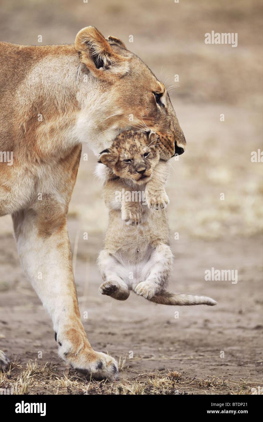 Leonessa portando cub.si sposta frequentemente giovani cubs al fine di evitare un accumulo di profumo. Masai Mara Immagini Stock