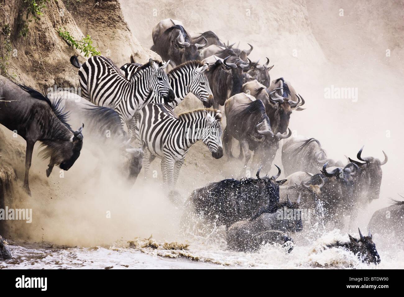 Gnu e zebra attraversando il fiume Mara.Masai Mara riserva nazionale. Kenya Immagini Stock