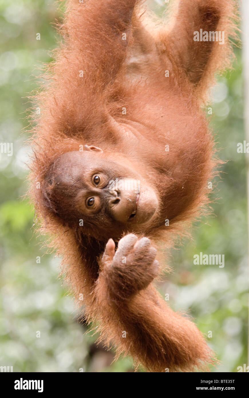 Semmenggoh Orang Utan santuario kuching Borneo malese, turismo nella foresta pluviale ape monkey selvatica Immagini Stock