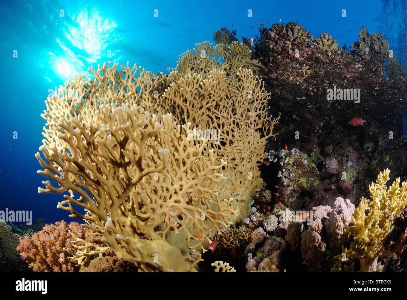 Colonia di corallo di fuoco crescente off Hamata costa, Egitto, Mar Rosso Immagini Stock