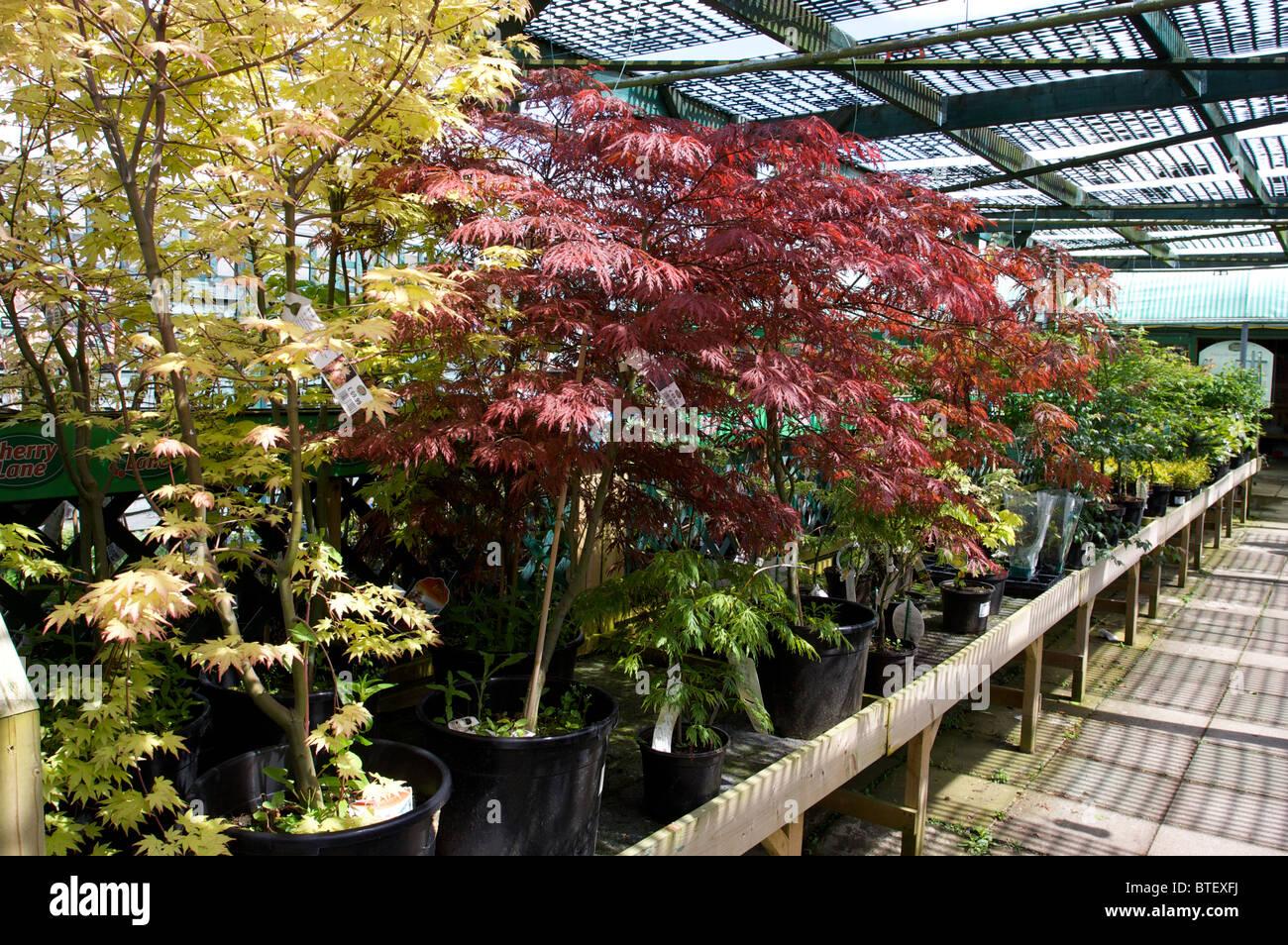 Vivaio Acero Rosso : Giapponese di alberi di acero nel vivaio di vendere sotto lombra