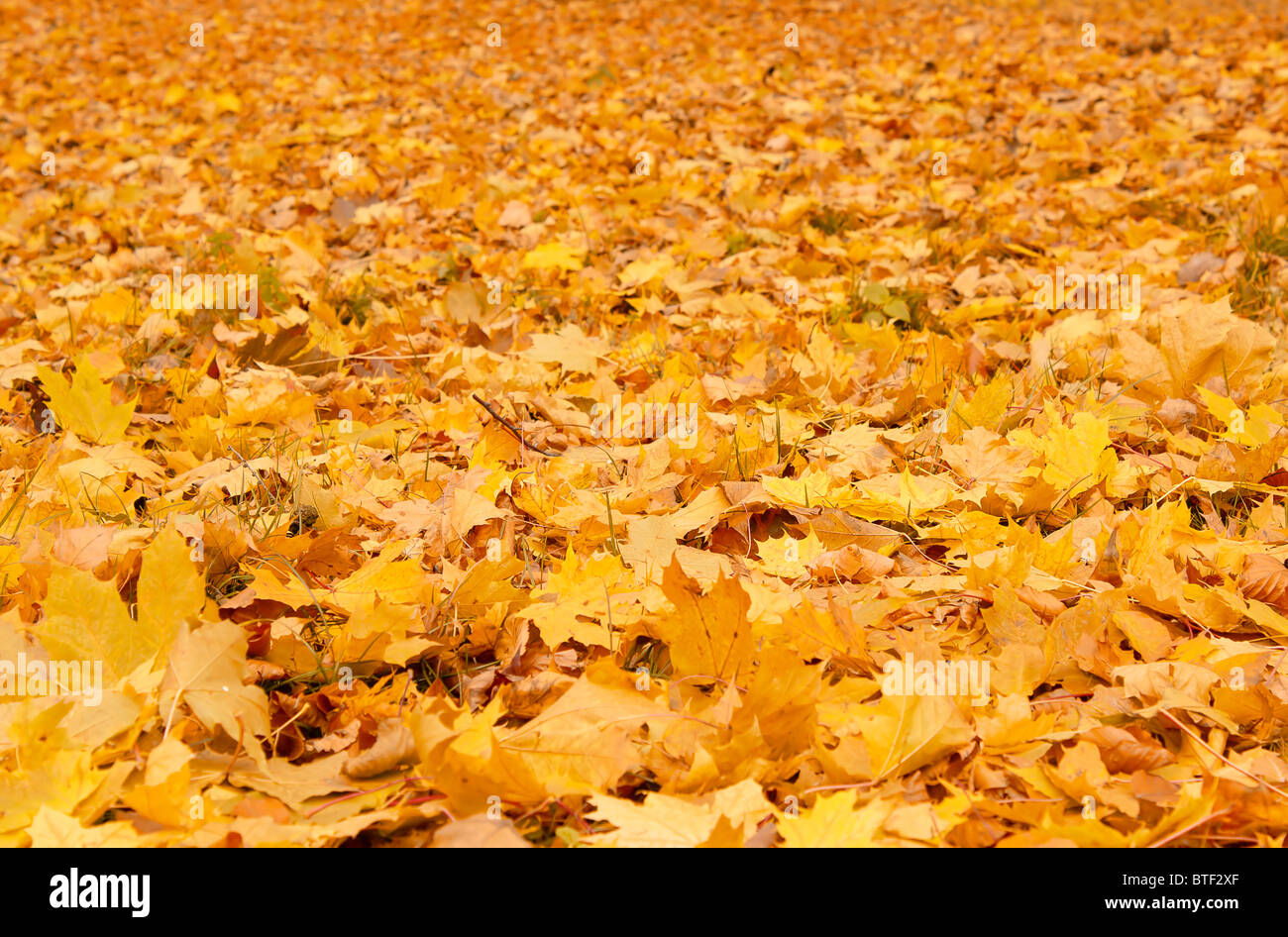 Arancio cadono le foglie di autunno a terra Immagini Stock