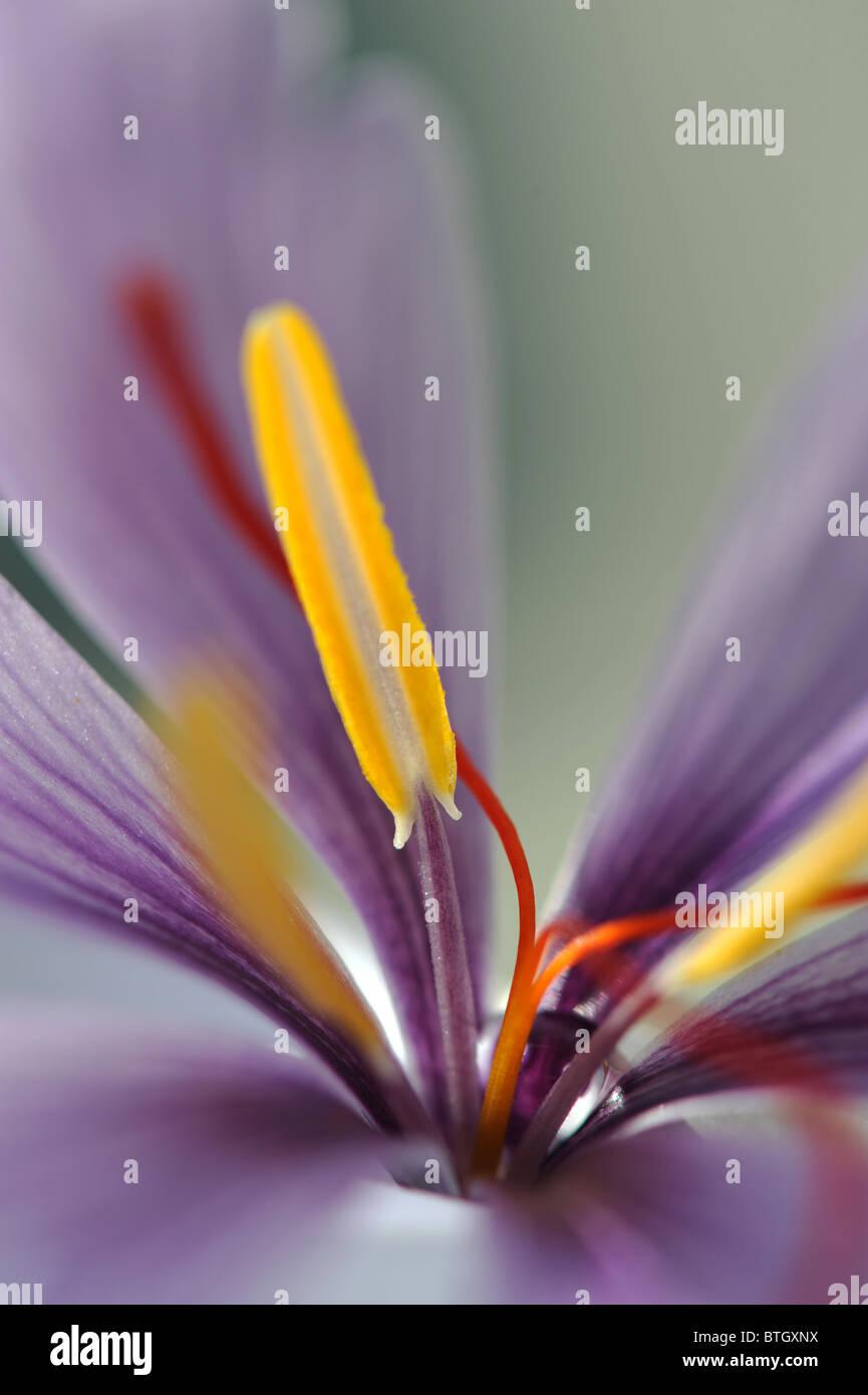 Zafferano Fiori Gialli.Fiore Di Zafferano Che Mostra Stami Gialli E Stimmi Rosso Foto
