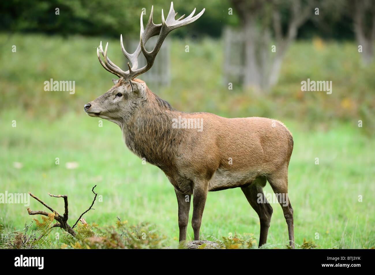 Vista laterale del cervo rosso cervo in piedi sotto la pioggia Immagini Stock