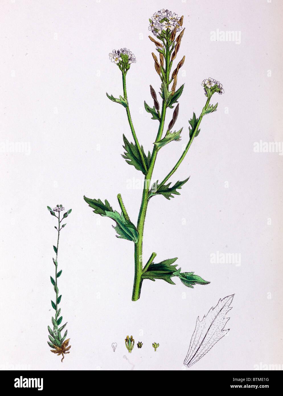 Stampa botanico,Twisted Podded Whitlow erba, XIX secolo Immagini Stock