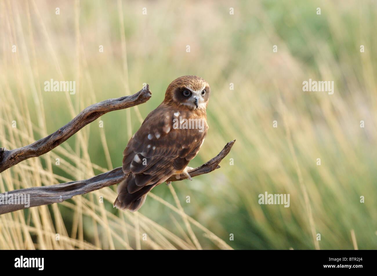 L'Australia, il Parco del Deserto Alice Springs, Owl appollaiate sul ramo Immagini Stock