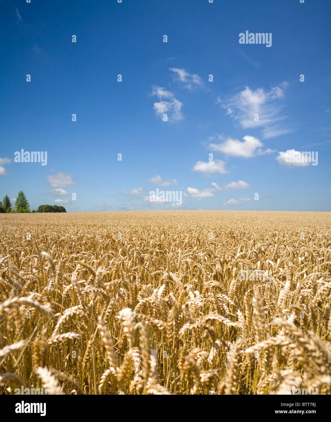 Un campo di grano maturo sotto un chiaro cielo estivo Immagini Stock