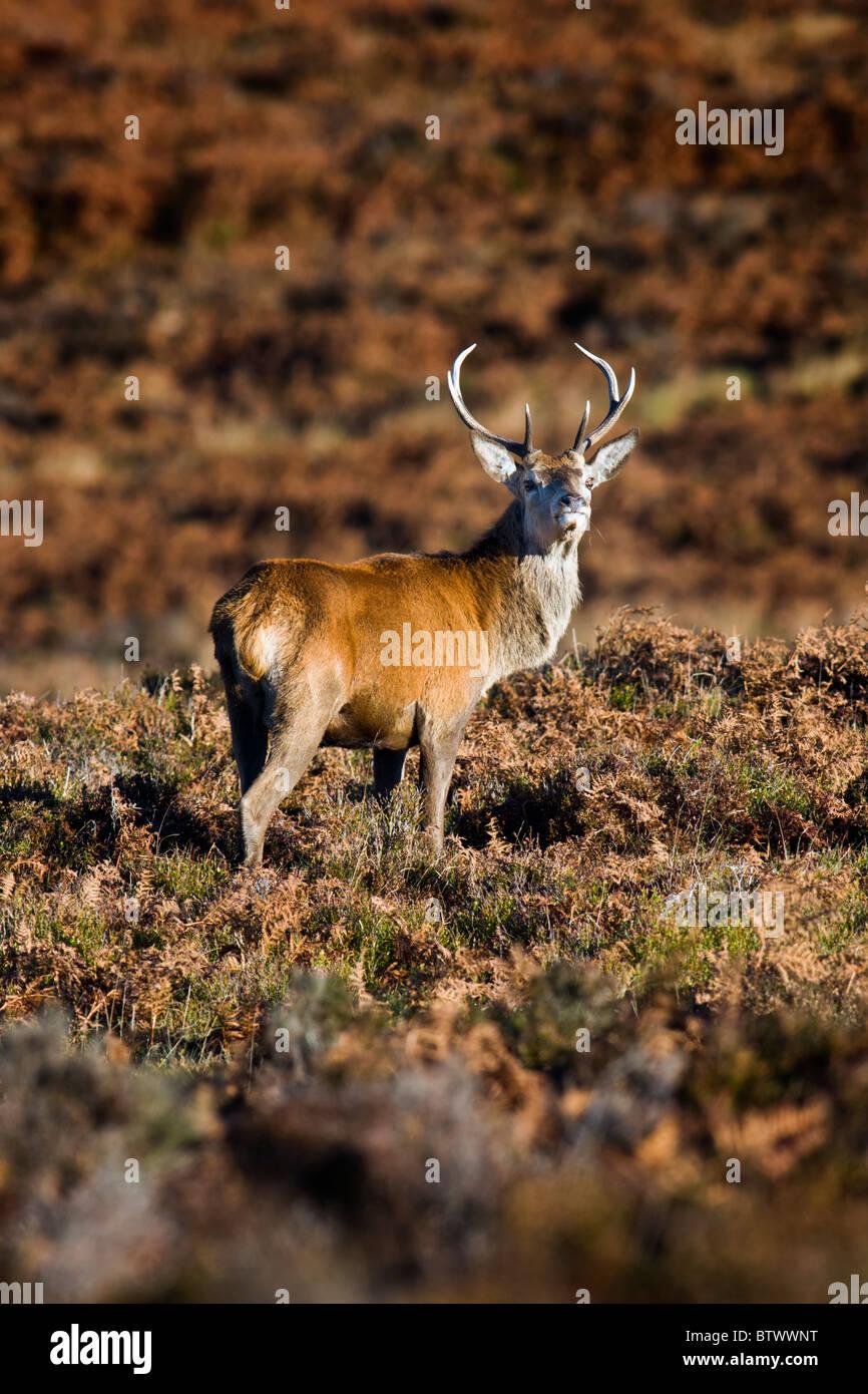 Giovani Red Deer Cervo a brughiera Immagini Stock
