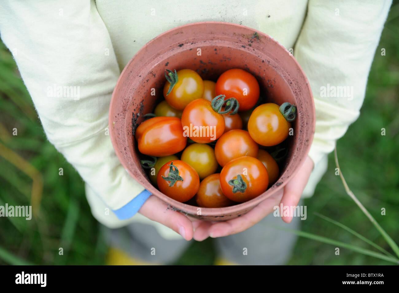 Nuovo raccolto i pomodori in pentola di vegetali Immagini Stock