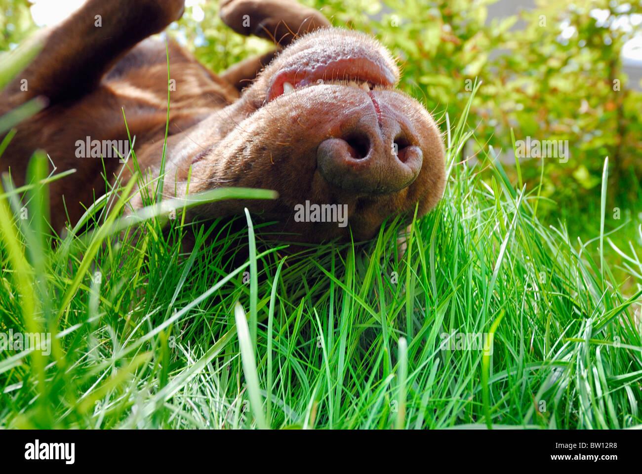 Brown Labrador Retriever rotolare in erba, Svezia Immagini Stock