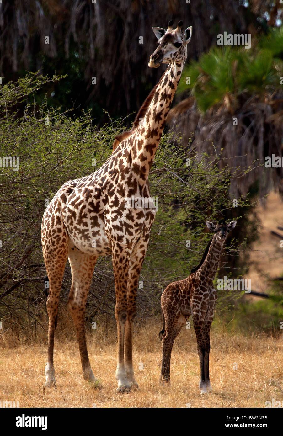 La madre e il giovane MAASAI GIRAFFE ( Giraffa camelopardalis tippelskirchi ) Selous Parco Nazionale della Tanzania Immagini Stock
