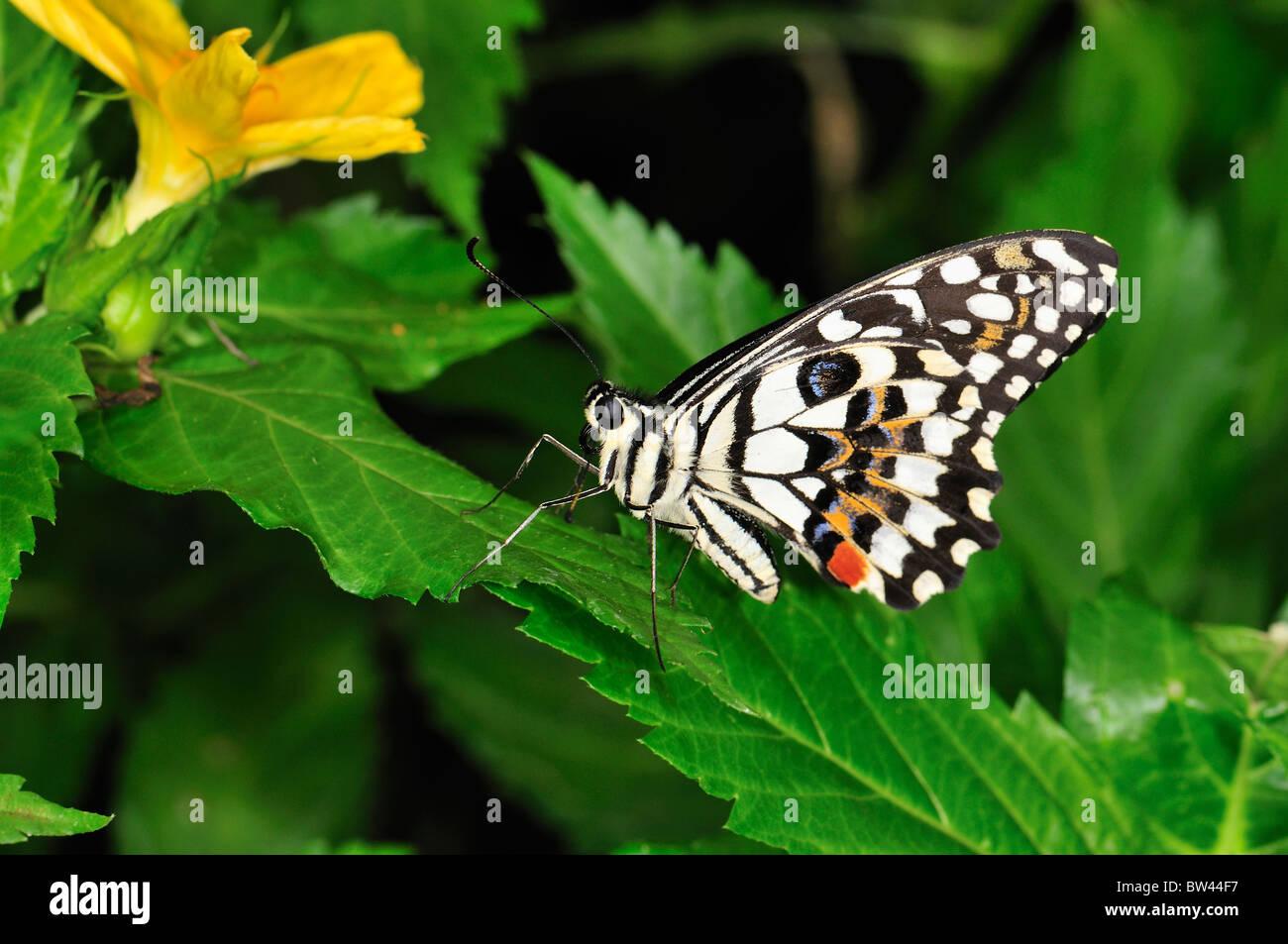 A coda di rondine a scacchi (Ali chiuso) Papilio demoleus a Stratford Butterfly Farm, Stratford-upon-Avon, Warwickshire, Immagini Stock