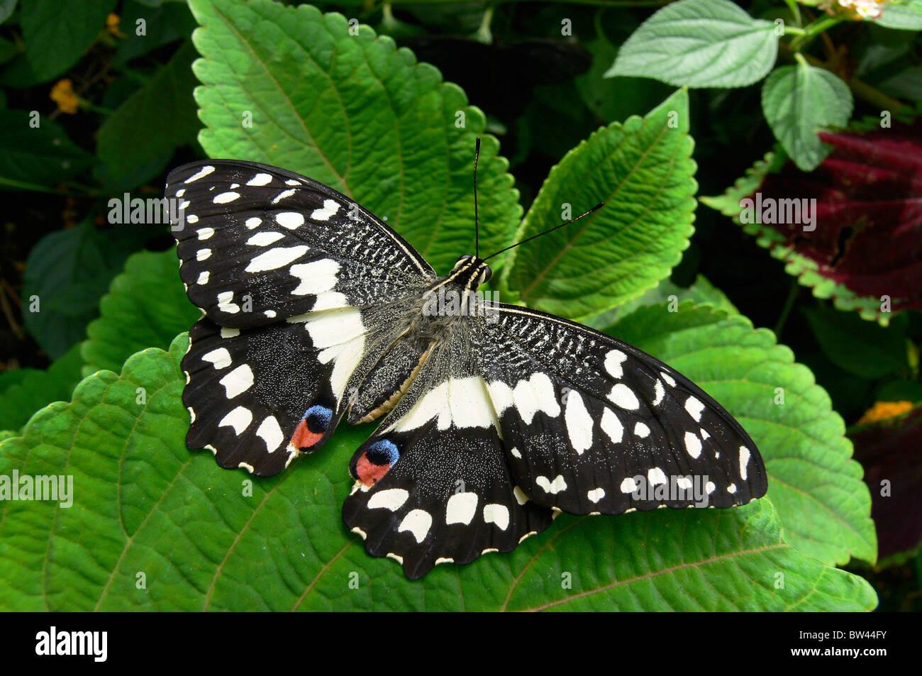 A coda di rondine a scacchi (Alette aperte) Papilio demoleus a Stratford Butterfly Farm, Stratford-upon-Avon, Warwickshire, Immagini Stock