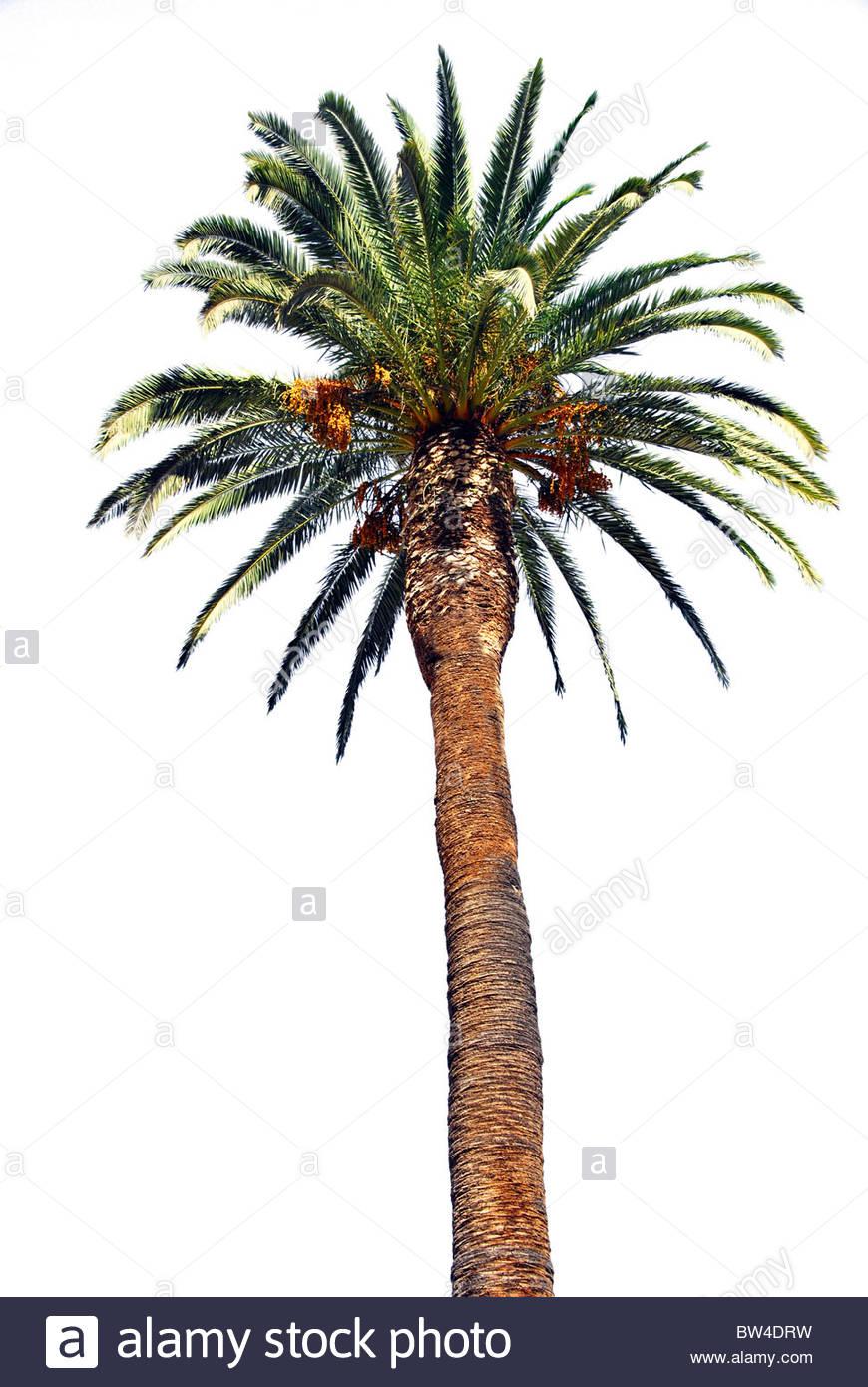 Palm tree isolate su uno sfondo bianco. Phoenix canariensis. Isole Canarie. Spagna Immagini Stock